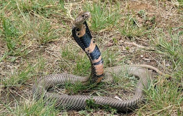Кобра-змея-Описание-особенности-виды-образ-жизни-и-среда-обитания-кобры-9
