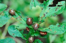 Колорадский жук насекомое. Описание, особенности, образ жизни и среда обитания жука