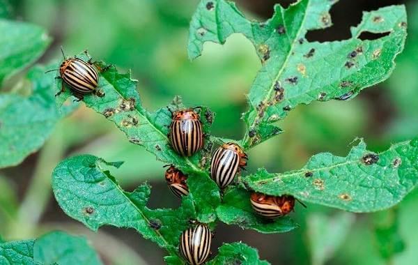 Колорадский-жук-насекомое-Описание-особенности-образ-жизни-и-среда-обитания-жука-1