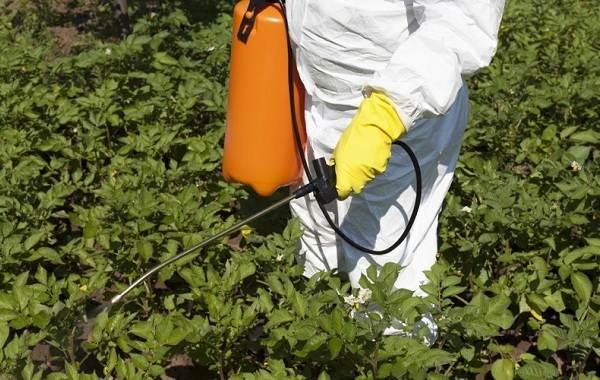 Колорадский-жук-насекомое-Описание-особенности-образ-жизни-и-среда-обитания-жука-17