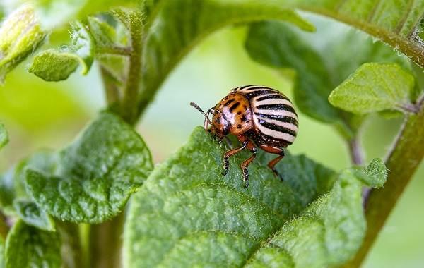 Колорадский-жук-насекомое-Описание-особенности-образ-жизни-и-среда-обитания-жука-2