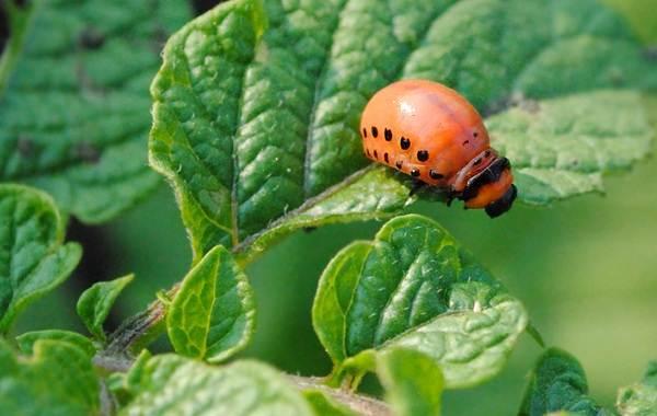 Колорадский-жук-насекомое-Описание-особенности-образ-жизни-и-среда-обитания-жука-4