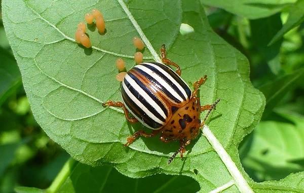 Колорадский-жук-насекомое-Описание-особенности-образ-жизни-и-среда-обитания-жука-5