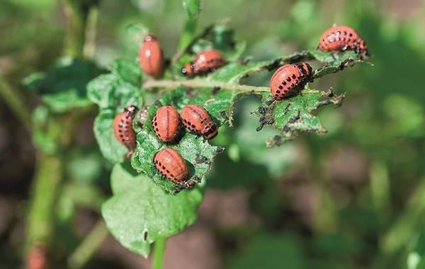 Колорадский-жук-насекомое-Описание-особенности-образ-жизни-и-среда-обитания-жука-7