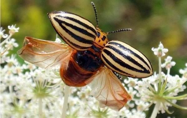 Колорадский-жук-насекомое-Описание-особенности-образ-жизни-и-среда-обитания-жука-8