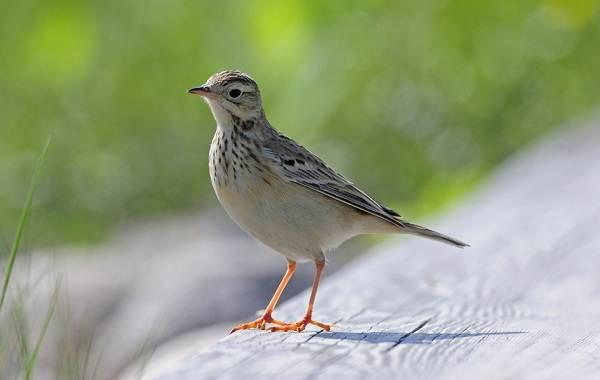 Конёк-птица-Описание-особенности-виды-образ-жизни-и-среда-обитания-конька-14