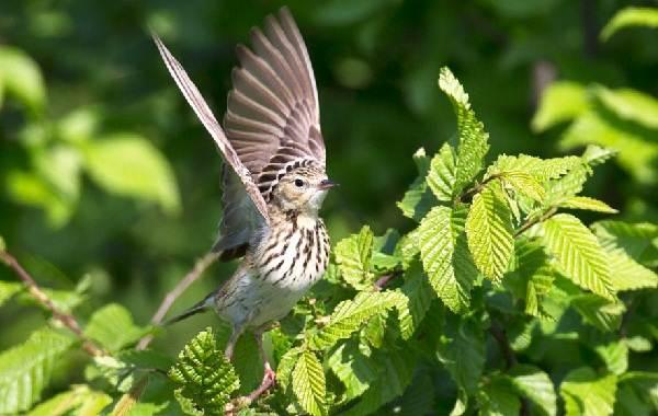 Конёк-птица-Описание-особенности-виды-образ-жизни-и-среда-обитания-конька-15