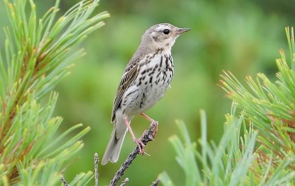Конёк-птица-Описание-особенности-виды-образ-жизни-и-среда-обитания-конька-3