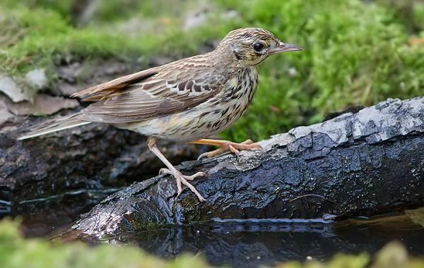 Конёк-птица-Описание-особенности-виды-образ-жизни-и-среда-обитания-конька-4
