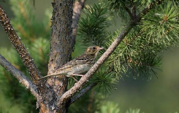 Конёк-птица-Описание-особенности-виды-образ-жизни-и-среда-обитания-конька-6