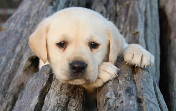 Лабрадор-собака-Описание-особенности-виды-характер-и-цена-породы-лабрадор-1