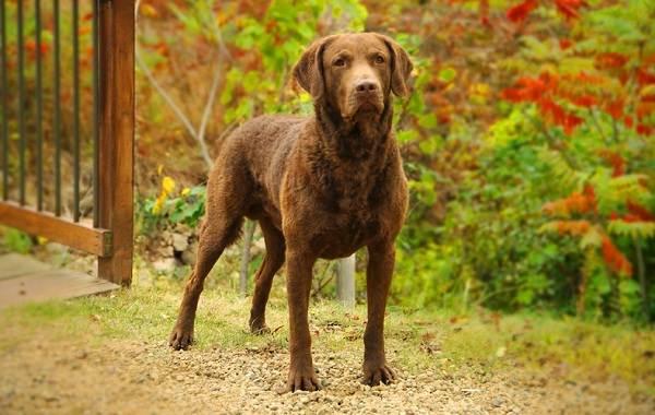 Лабрадор-собака-Описание-особенности-виды-характер-и-цена-породы-лабрадор-12