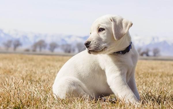 Лабрадор-собака-Описание-особенности-виды-характер-и-цена-породы-лабрадор-13