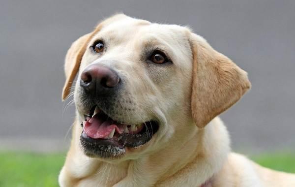 Лабрадор-собака-Описание-особенности-виды-характер-и-цена-породы-лабрадор-14