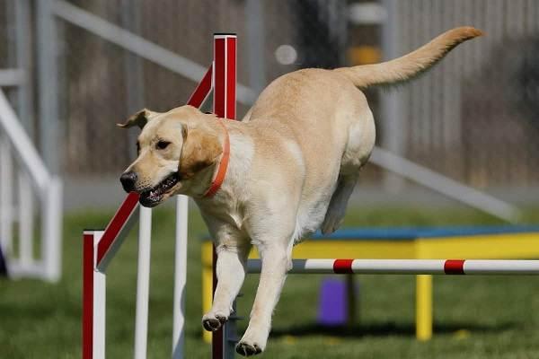 Лабрадор-собака-Описание-особенности-виды-характер-и-цена-породы-лабрадор-19