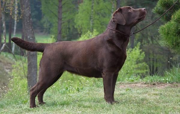 Лабрадор-собака-Описание-особенности-виды-характер-и-цена-породы-лабрадор-2