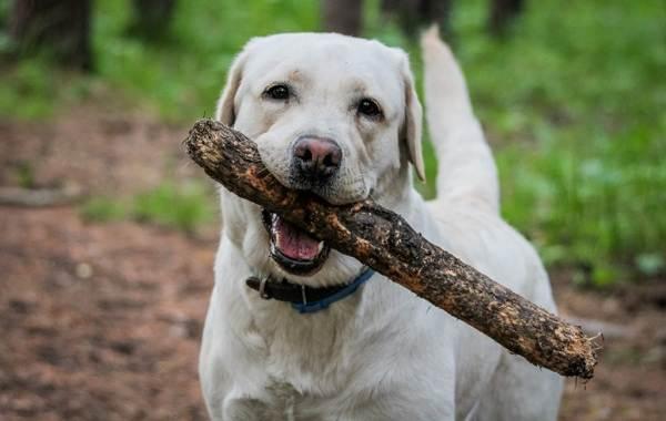 Лабрадор-собака-Описание-особенности-виды-характер-и-цена-породы-лабрадор-20