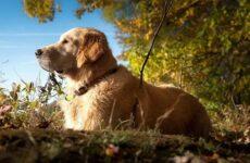 Лабрадор собака. Описание, особенности, виды, характер и цена породы лабрадор