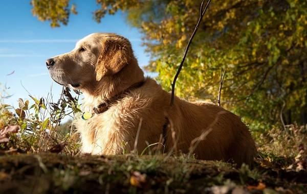 Лабрадор-собака-Описание-особенности-виды-характер-и-цена-породы-лабрадор-5