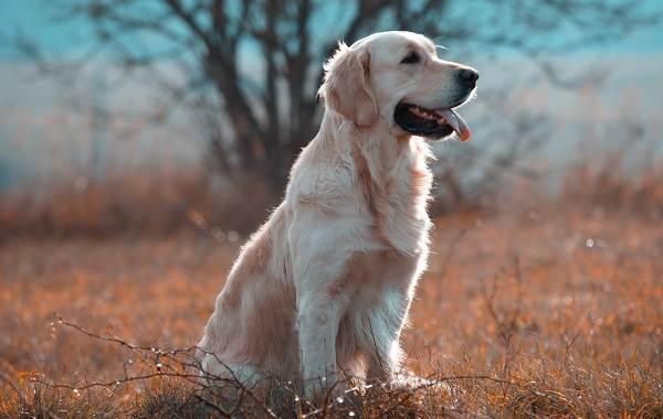 Лабрадор-собака-Описание-особенности-виды-характер-и-цена-породы-лабрадор-7