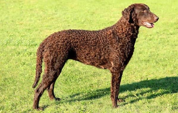 Лабрадор-собака-Описание-особенности-виды-характер-и-цена-породы-лабрадор-8
