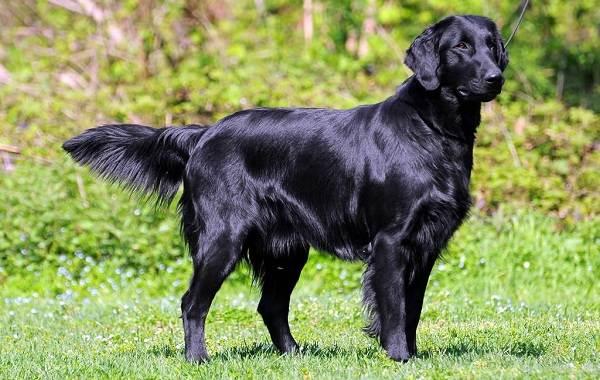 Лабрадор-собака-Описание-особенности-виды-характер-и-цена-породы-лабрадор-9
