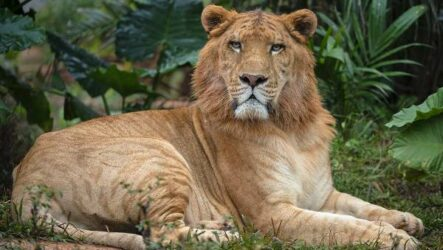 Лигр животное. Описание, особенности, образ жизни и среда обитания лигра