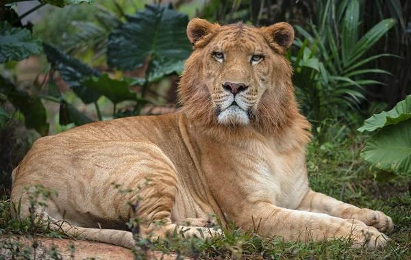 Лигр-животное-Описание-особенности-образ-жизни-и-среда-обитания-лигра-1