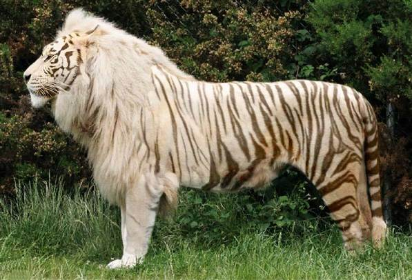 Лигр-животное-Описание-особенности-образ-жизни-и-среда-обитания-лигра-10