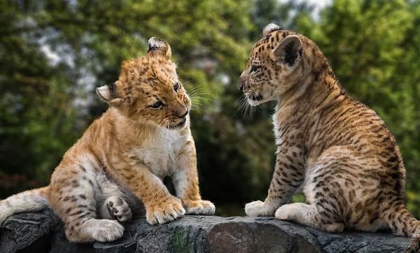 Лигр-животное-Описание-особенности-образ-жизни-и-среда-обитания-лигра-4