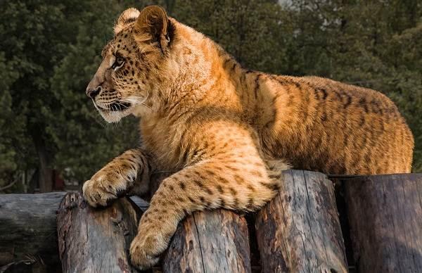 Лигр-животное-Описание-особенности-образ-жизни-и-среда-обитания-лигра-5