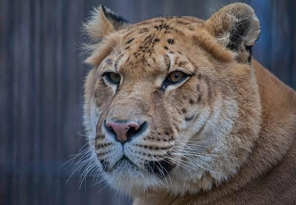 Лигр-животное-Описание-особенности-образ-жизни-и-среда-обитания-лигра-7