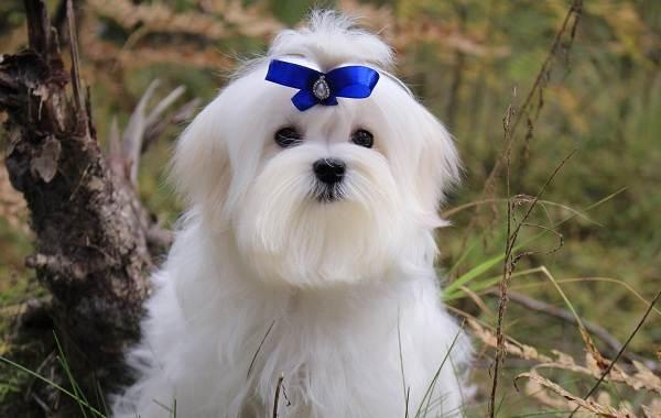 Мальтийская-болонка-собака-Описание-особенности-уход-содержание-и-цена-породы-1