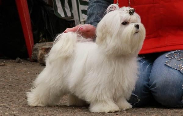 Мальтийская-болонка-собака-Описание-особенности-уход-содержание-и-цена-породы-10