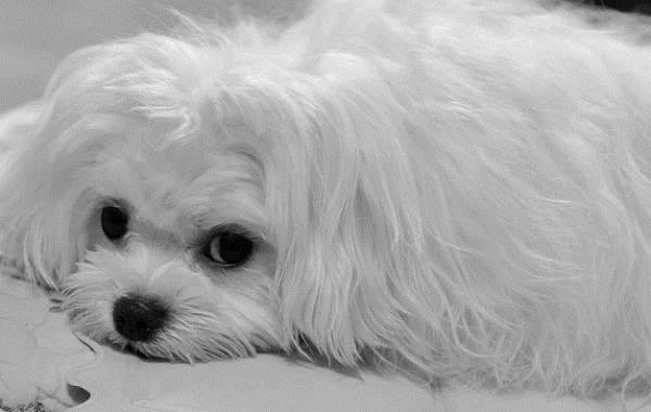 Мальтийская-болонка-собака-Описание-особенности-уход-содержание-и-цена-породы-11