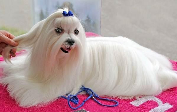 Мальтийская-болонка-собака-Описание-особенности-уход-содержание-и-цена-породы-12