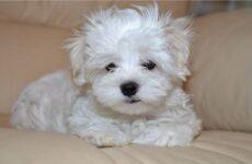 Мальтийская болонка собака. Описание, особенности, уход, содержание и цена породы