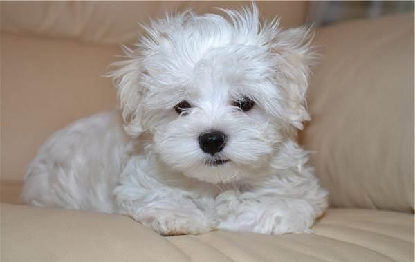 Мальтийская-болонка-собака-Описание-особенности-уход-содержание-и-цена-породы-13