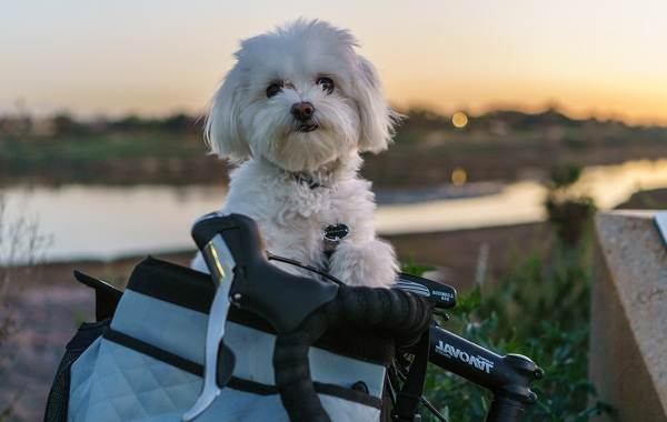 Мальтийская-болонка-собака-Описание-особенности-уход-содержание-и-цена-породы-14