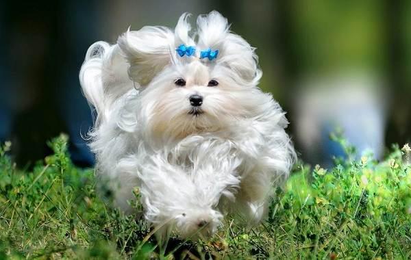 Мальтийская-болонка-собака-Описание-особенности-уход-содержание-и-цена-породы-15