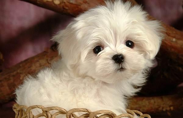 Мальтийская-болонка-собака-Описание-особенности-уход-содержание-и-цена-породы-2