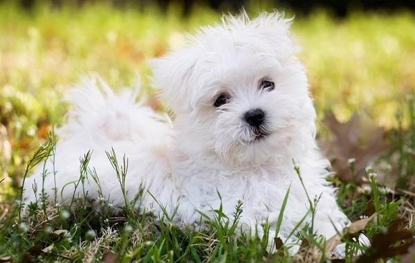 Мальтийская-болонка-собака-Описание-особенности-уход-содержание-и-цена-породы-3