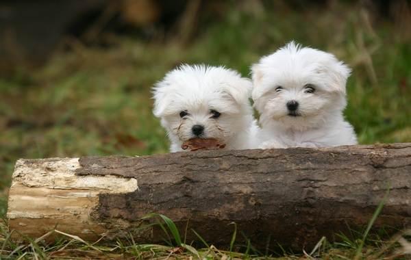 Мальтийская-болонка-собака-Описание-особенности-уход-содержание-и-цена-породы-4