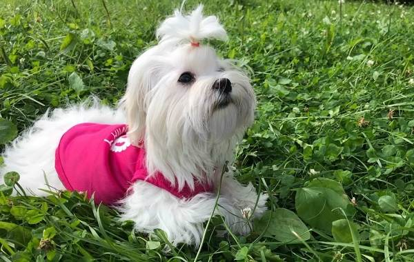 Мальтийская-болонка-собака-Описание-особенности-уход-содержание-и-цена-породы-5