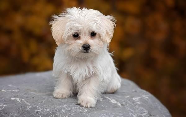 Мальтийская-болонка-собака-Описание-особенности-уход-содержание-и-цена-породы-6