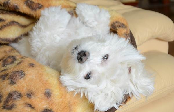 Мальтийская-болонка-собака-Описание-особенности-уход-содержание-и-цена-породы-7