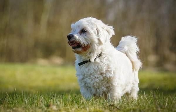 Мальтийская-болонка-собака-Описание-особенности-уход-содержание-и-цена-породы-8