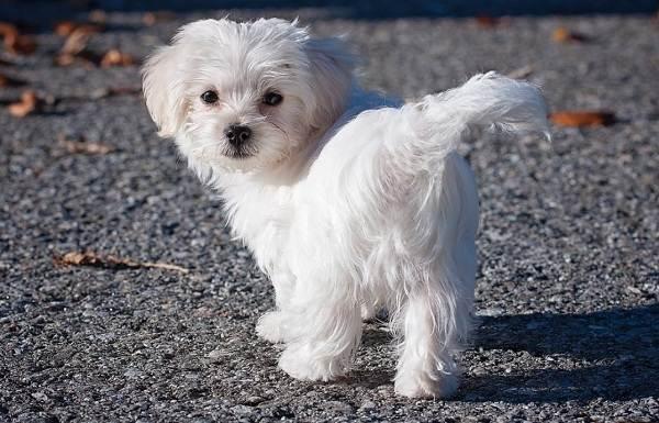 Мальтийская-болонка-собака-Описание-особенности-уход-содержание-и-цена-породы-9