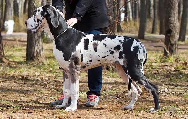 Немецкий-дог-собака-Описание-особенности-виды-характер-и-фото-немецкого-дога-13