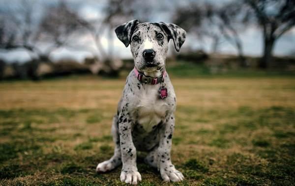 Немецкий-дог-собака-Описание-особенности-виды-характер-и-фото-немецкого-дога-14